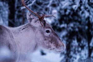 Renna in Finlandia